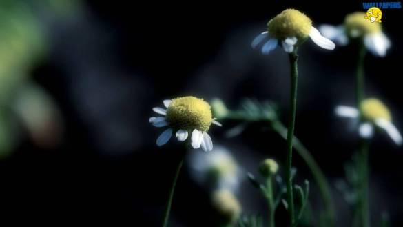 chamomile-dark-wallpaper-1600x900
